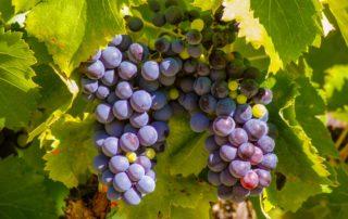 foto druivenrank wijn weten en drinken Frankrijk